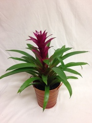 Bromeliad from Chillicothe Floral, local florist in Chillicothe, OH