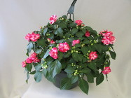 Hanging Blooming Basket, Standard from Chillicothe Floral, local florist in Chillicothe, OH