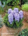 Potted Hyacinths from Chillicothe Floral, local florist in Chillicothe, OH
