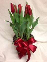 Tulips from Chillicothe Floral, local florist in Chillicothe, OH