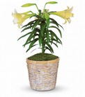 Easter Lily Plant from Chillicothe Floral, local florist in Chillicothe, OH
