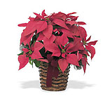 Poinsettia from Chillicothe Floral, local florist in Chillicothe, OH