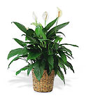 Large Spathiphyllum Plant from Chillicothe Floral, local florist in Chillicothe, OH